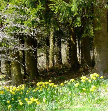 daffodils Scargill 2013