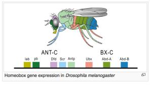 Homeobox Genes (Wikipedia)