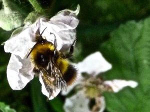 Bumble Bee on Blackberry Blossom