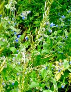 Blue or prickly comfrey (S. asperum)