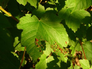 Red galls on sycamore leaf