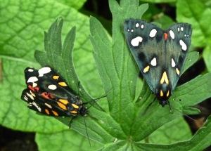dayflying moths 2