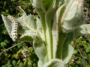 Large White Butterfly Caterpillar on Mullen