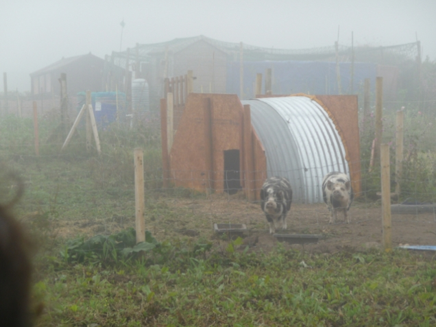 pigs through seami st, Pendeenallotments