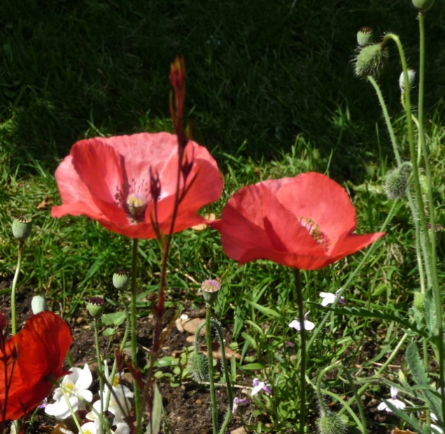 more poppies – Version 2